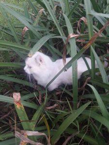 Munchkin kitten walking