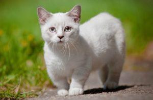 Munchkin Cat white