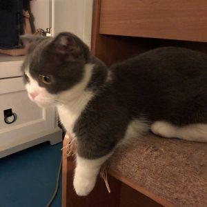 Munchkin Cat kitten on chair