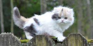 Munchkin Cat kitten on fence