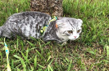 11 Awesome Tips For Taking Your Munchkin Kitten on Its First Walk