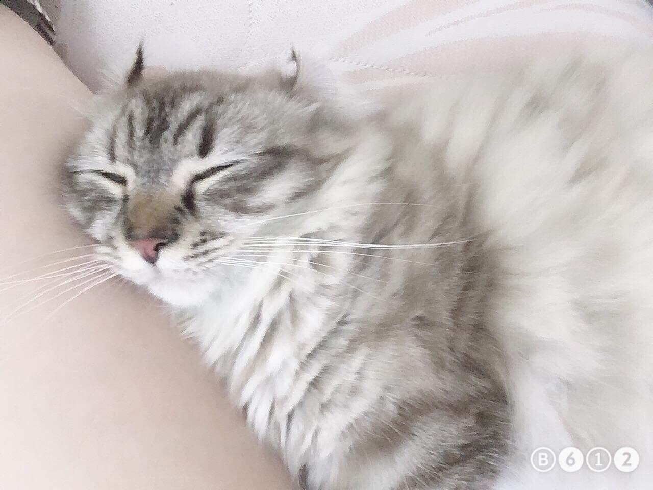 Munchkin Cat kitten sleeping