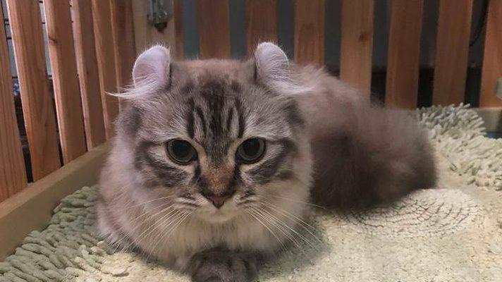 Munchkin Cat kitten in carrier