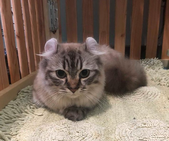 How Much Does A Munchkin Cat Cost Let Me Show You With Examples Munchkin Cat Guide
