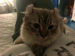 Munchkin kitten on bed