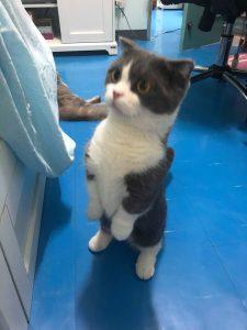 Munchkin Cat kitten standing