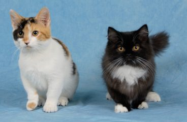 Do Munchkin Cats Have Health Problems?