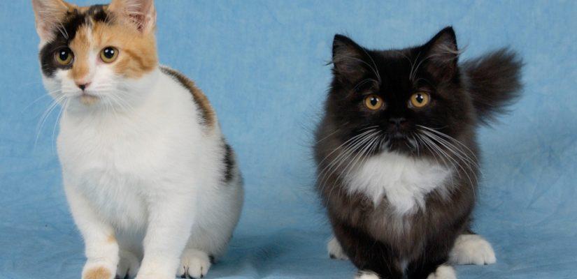 Munchkin Cat - healthy kittens