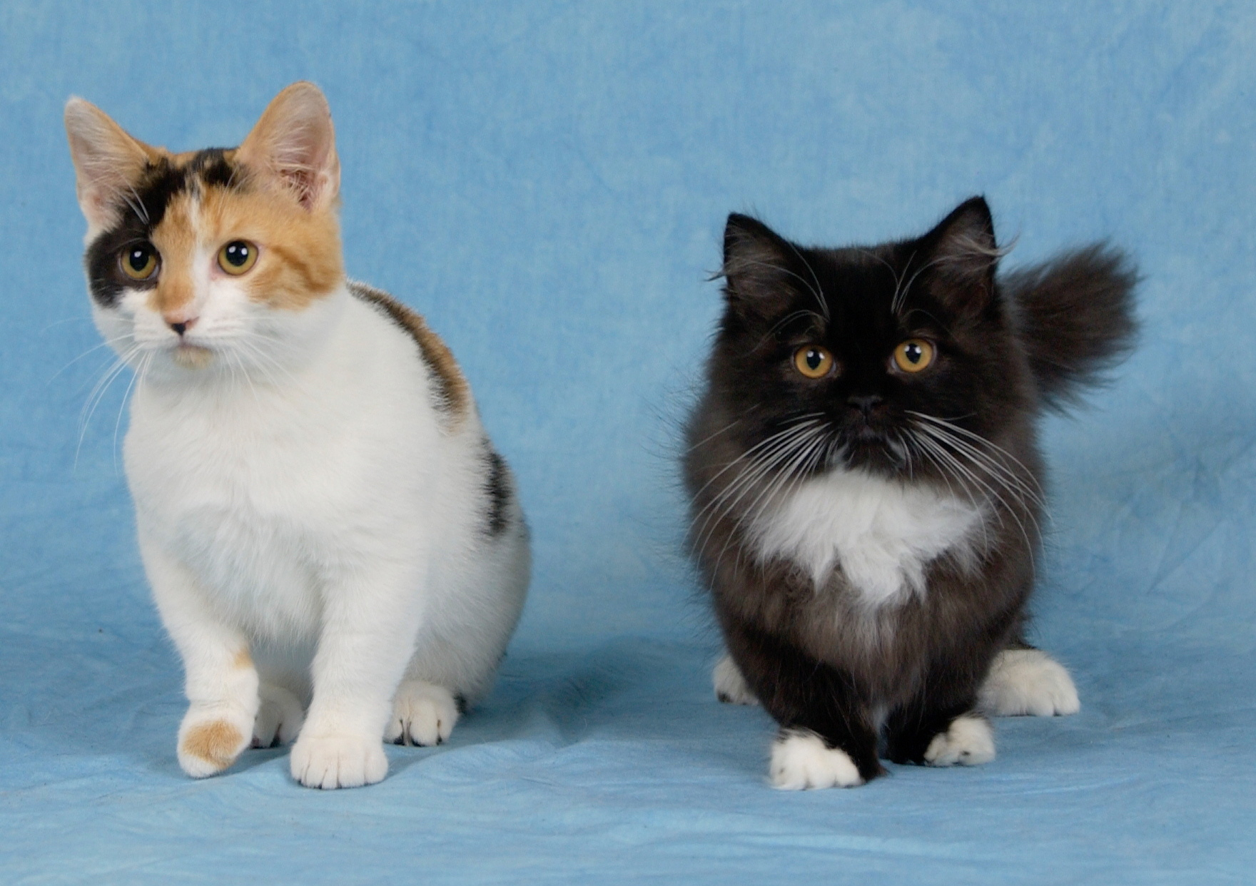 Do Munchkin Cats Have Health Problems Munchkin Cat Guide