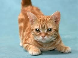 Munchkin Cat - healthy kitten