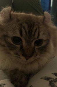 Munchkin Cat kitten