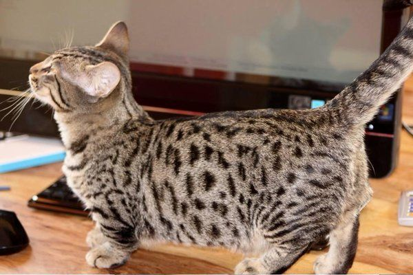 genetta munchkin cat