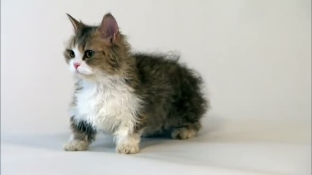 Lambskin Munchkin Cat
