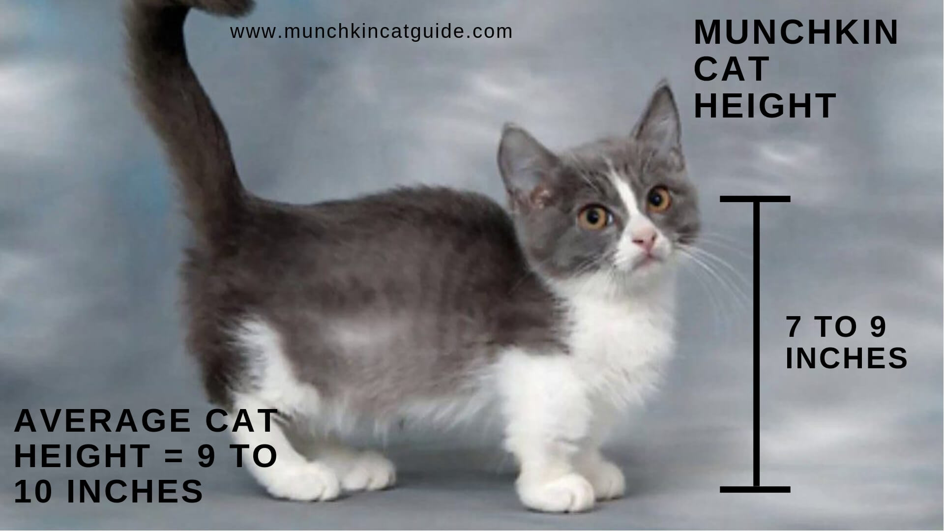 Munchkin Cat height graphic