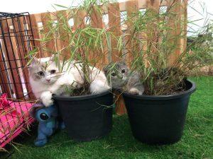 Munchkin cat sitting in pots