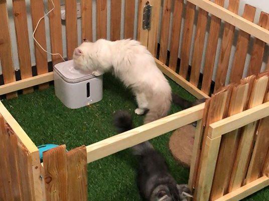 Munchkin cat playing indoors
