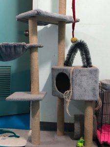 Munchkin cat playing house