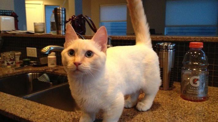 munchkin cat on kitchen counter