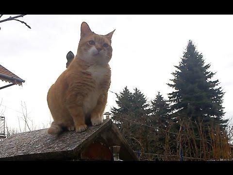 munchkin cat after jump