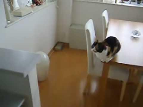 munchkin kitten about to jump
