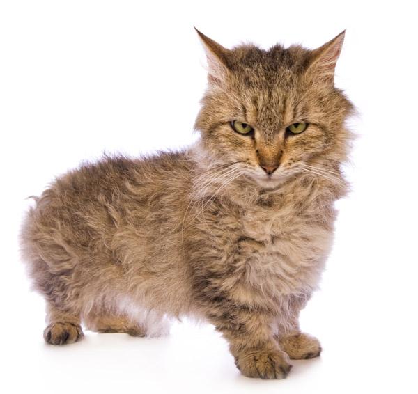 Skookum Munchkin cat