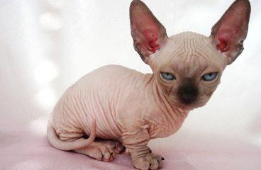 The Munchkin Cat Sphynx Mix (Minskin and Bambino)