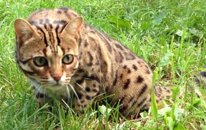 A Bengal Cat getting up from the grass