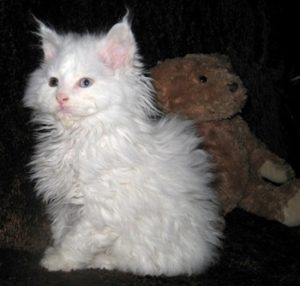 Lambkin kitten sitting next to teddy bear
