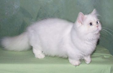 The Munchkin Cat Persian Mix (The Napoleon or Minuet)