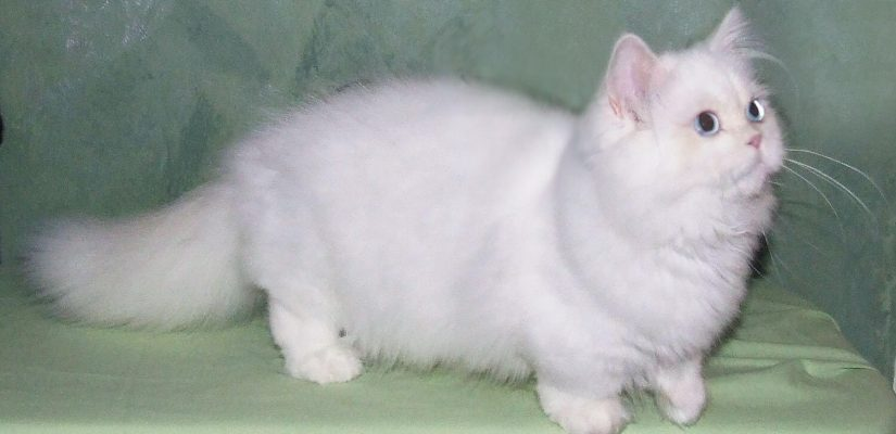 White Napoleon cat