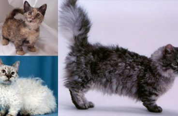 The Munchkin Cat LaPerm Mix (The Skookum)