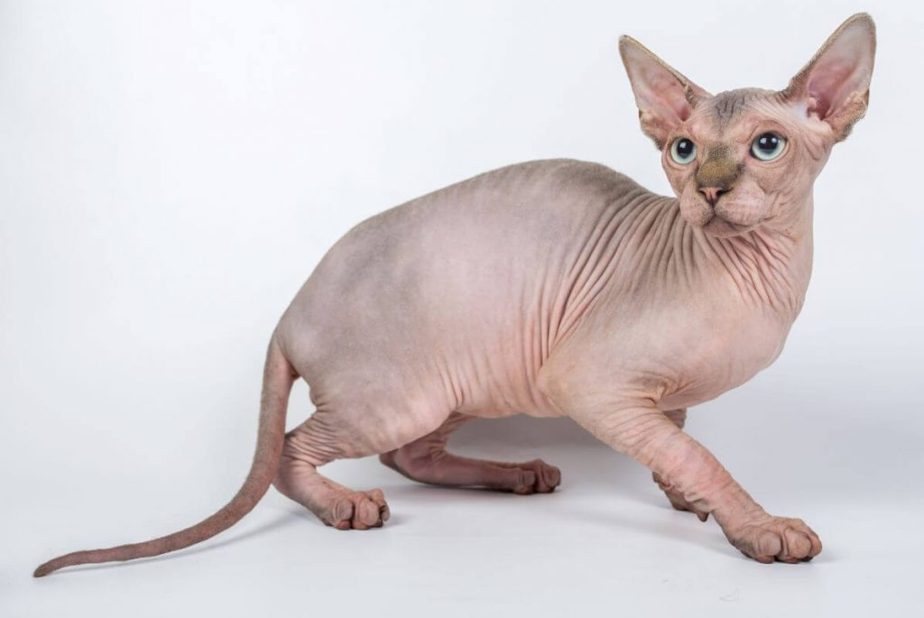 Sphynx cat side view